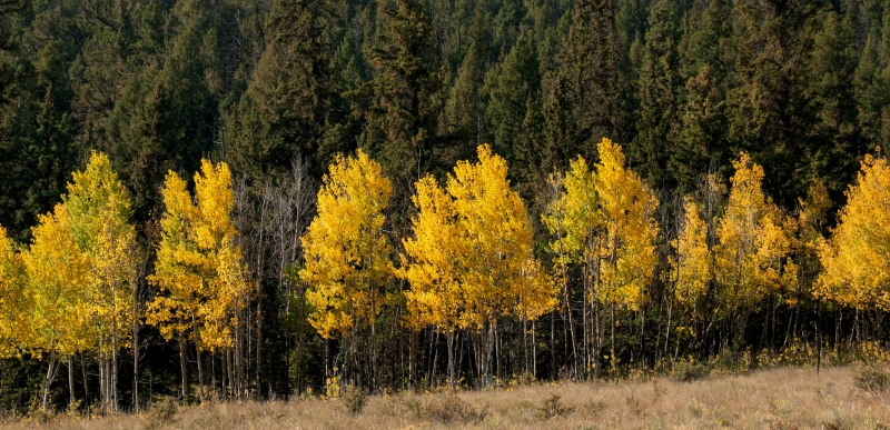 Guanella Pass Aspens And Pines