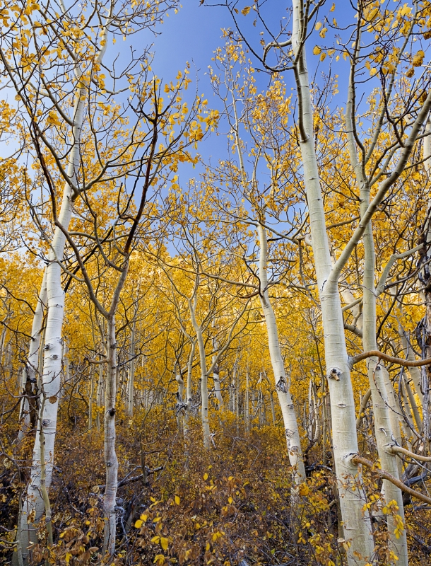 North Lake Golden Aspens