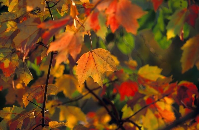 Multi-colored Maple Leaves