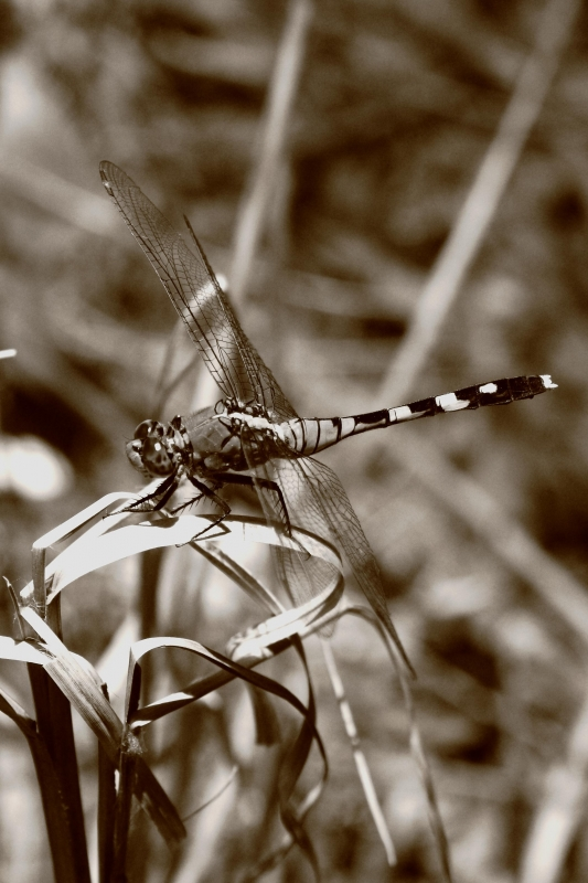 Sepia Dragon Fly