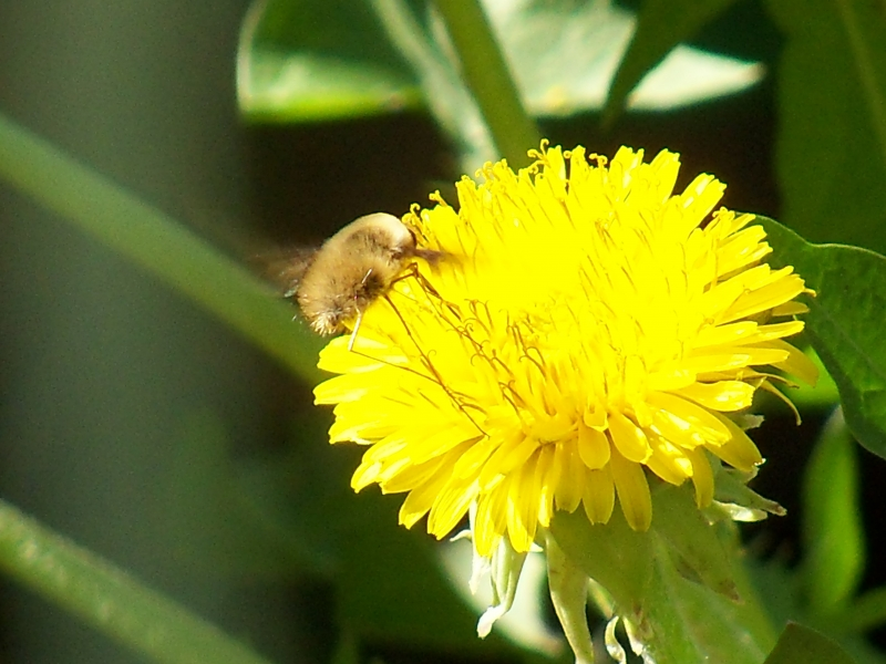 Dandelion (not Sure Of The Creature On It ?)