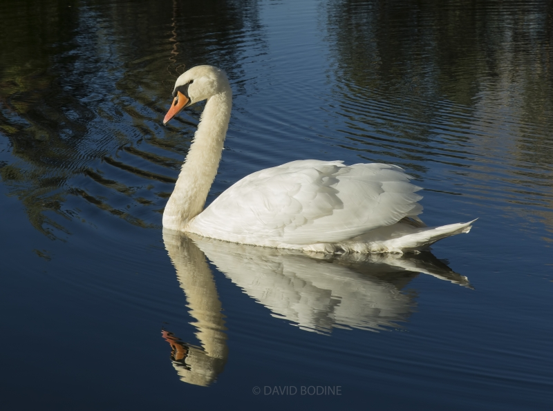 Swan In My Pond