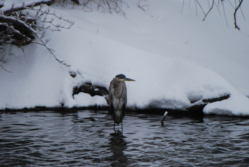 Chilly Heron