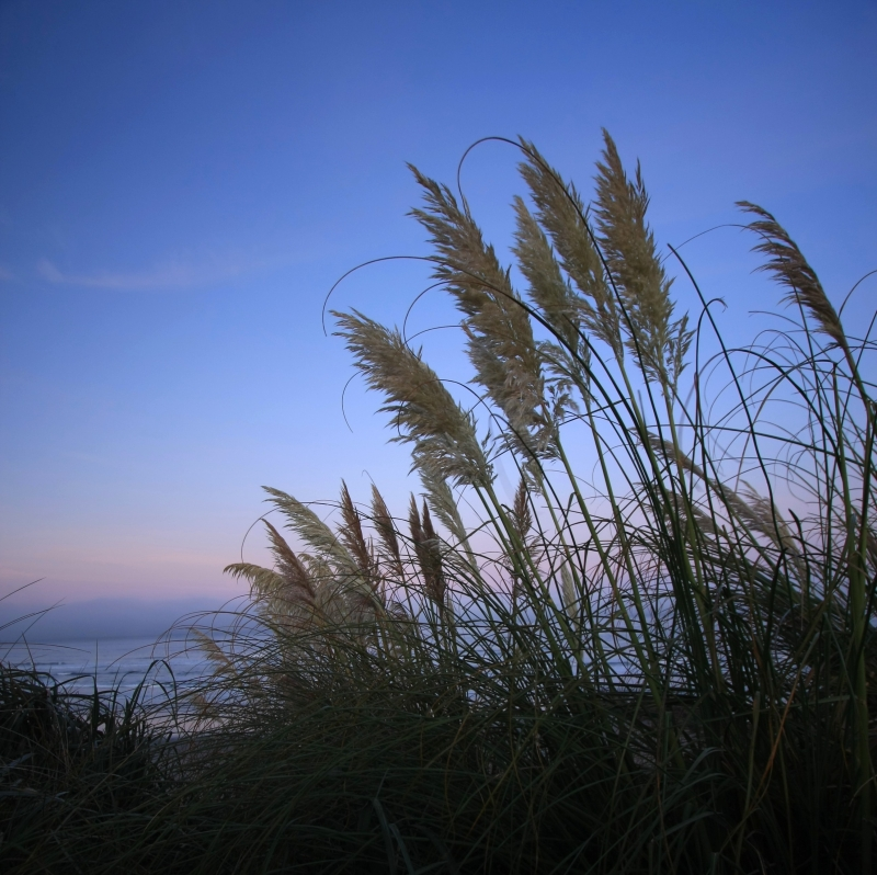 Beachgrass At Sunrise