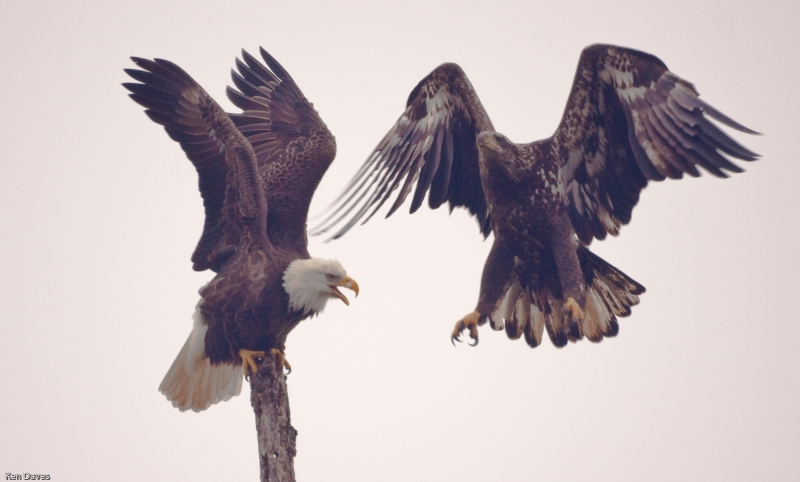 Adult And Juvenile Bald Eagle