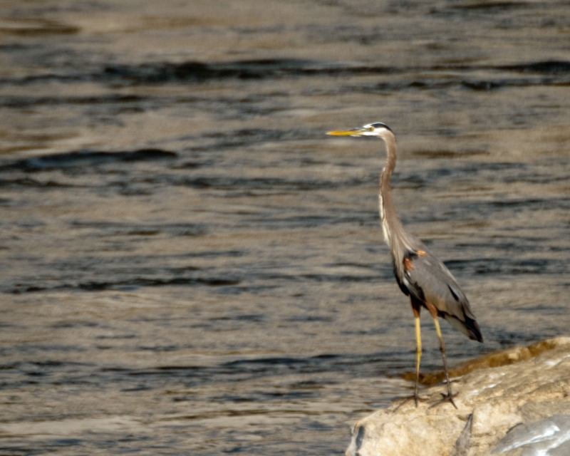 Blue Heron At Nickajack