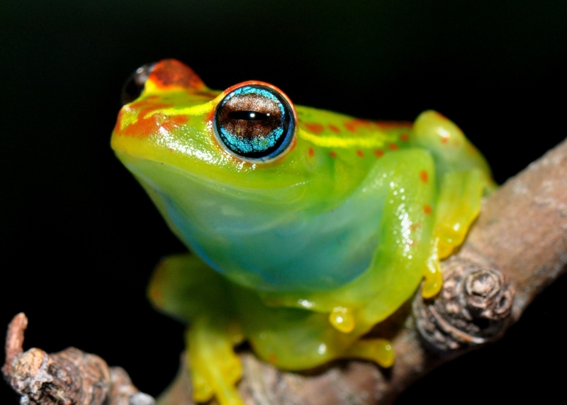 Blue-eyed Treefrog