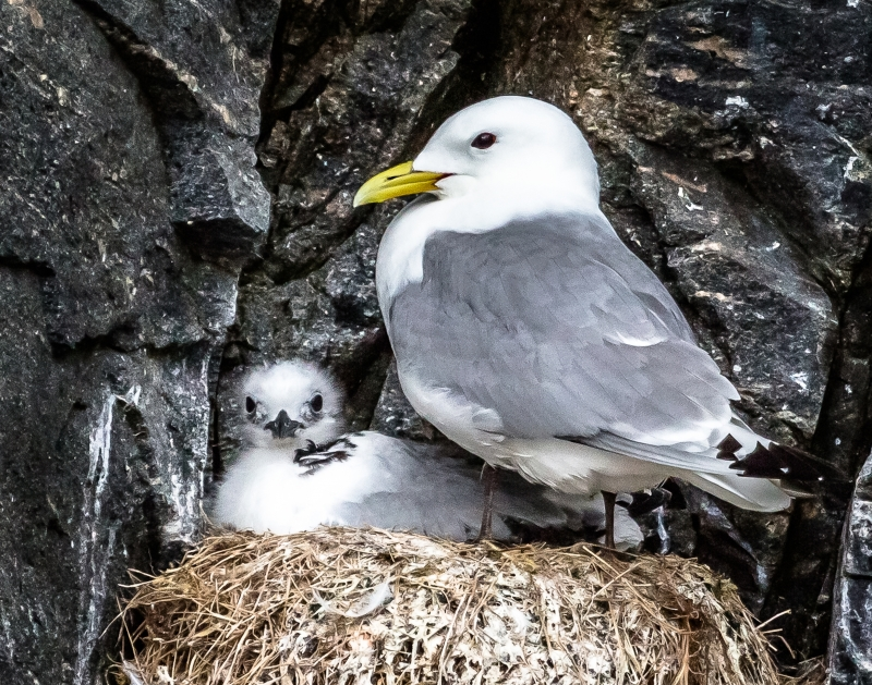 Kittiwake Mother And Chick