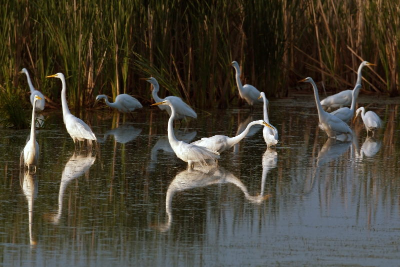 Early Morning Egrets