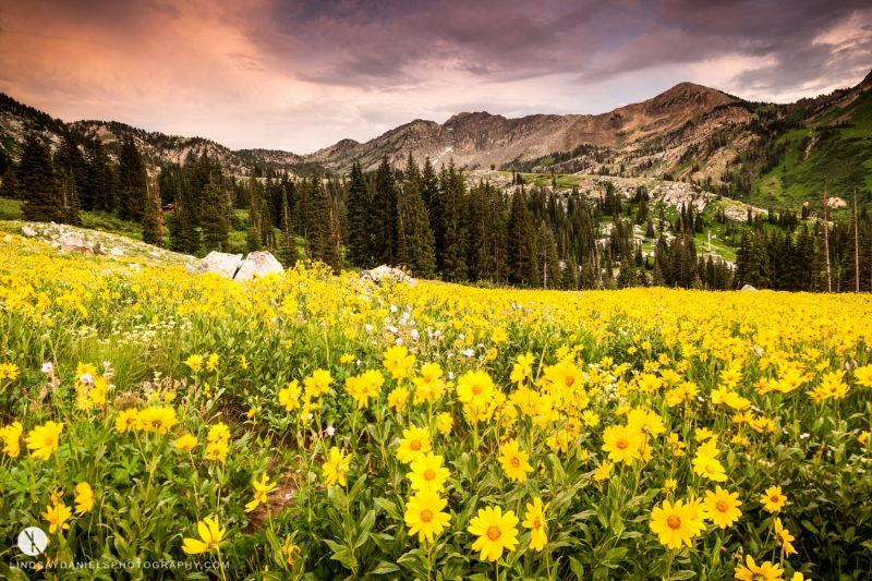 Sunflowers At Albion Basin