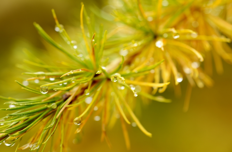 Larch After A Light Shower
