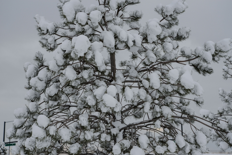 Spring Snow Hanging In Tree