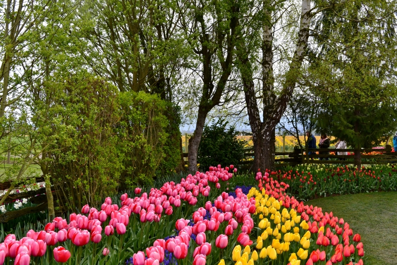 Tulips Rows
