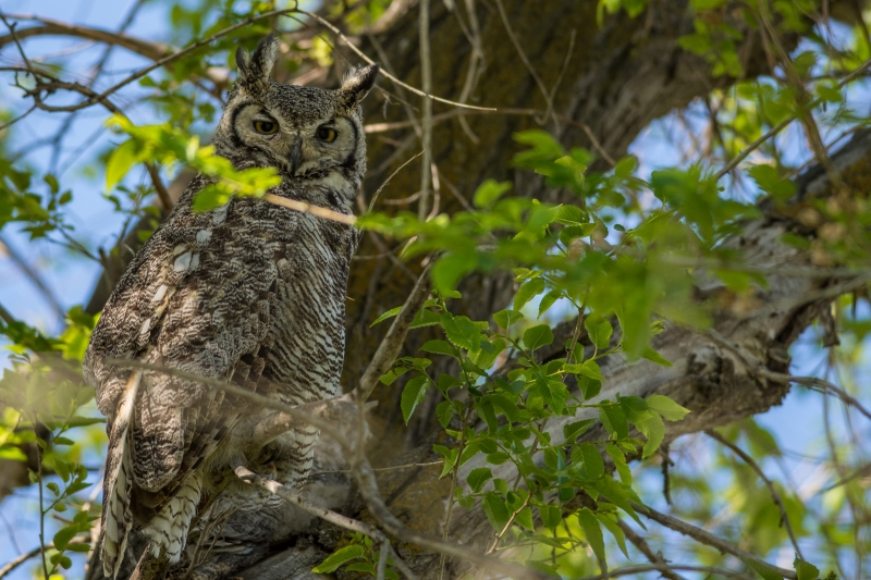 Great Horned Beauty