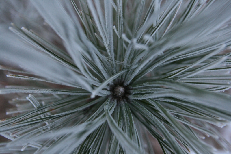 Red Pine Covered In Whore-frost