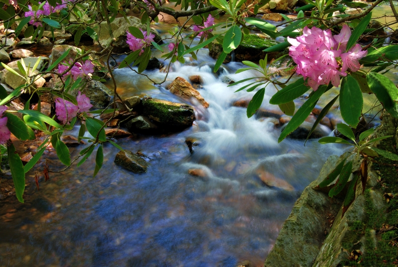 Azalea And Creek