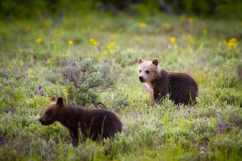 Grizzly Bear #399's Cubs