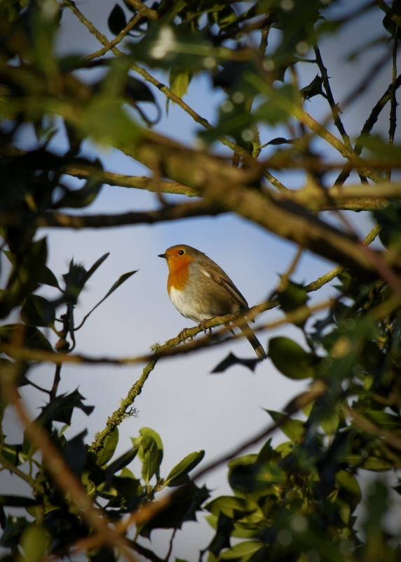 Robin Amongst Holly