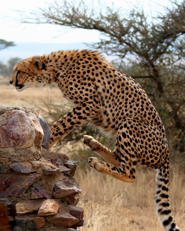 Leaping Cheetah