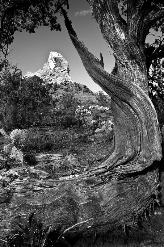 Old Sedona Juniper