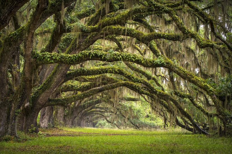 Avenue Of Oaks – Charleston Sc Plantation Live Oaks