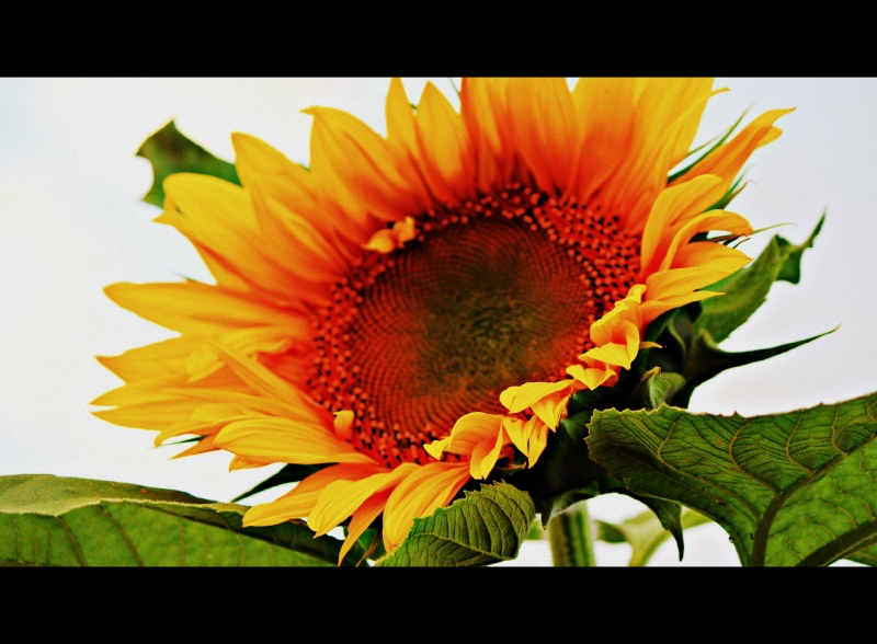 Crazy Sunflower