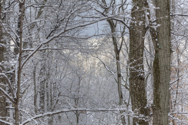 Snowy Limbs In The Forest View