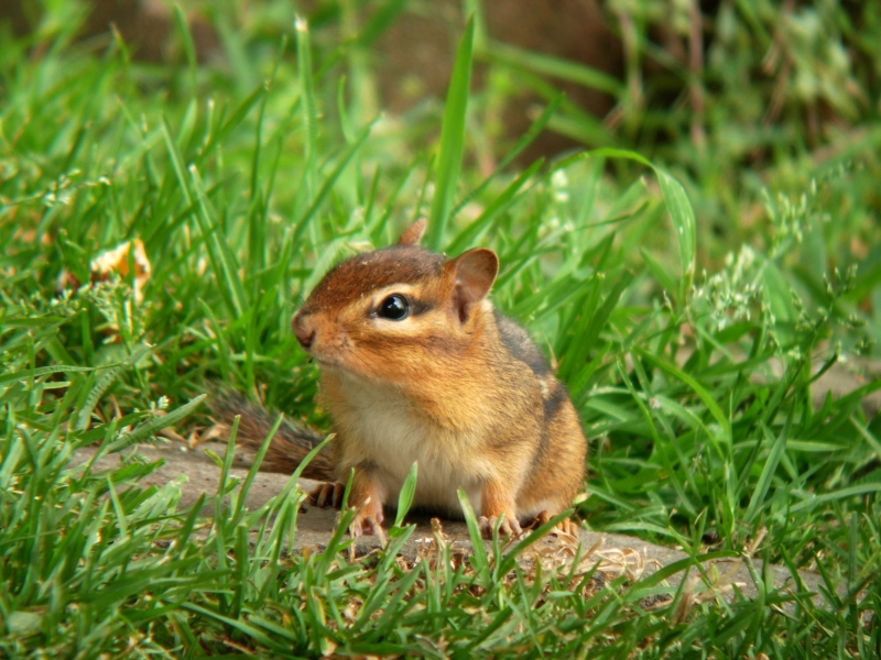 Chipmunk On Alert