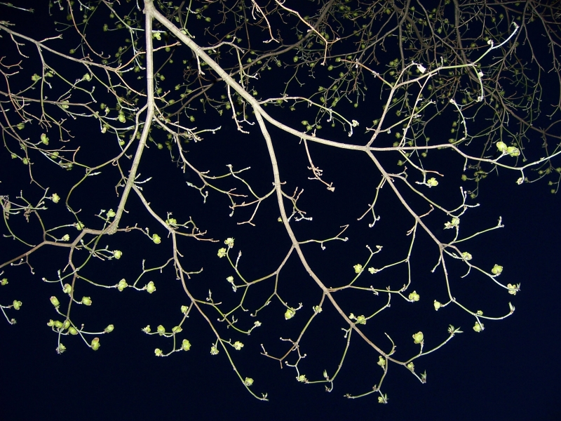 Spring Buds At Night
