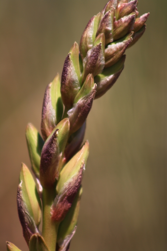 Blooming Yucca