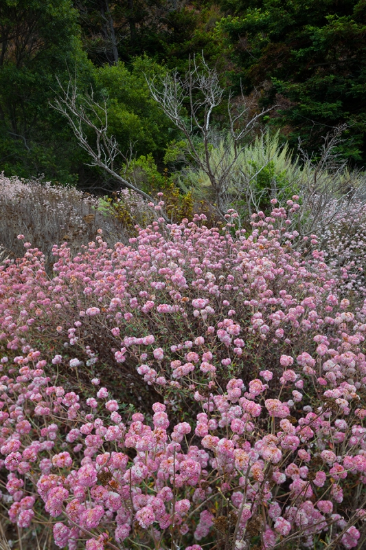 Late Summer Blooms – Garrapata State Park