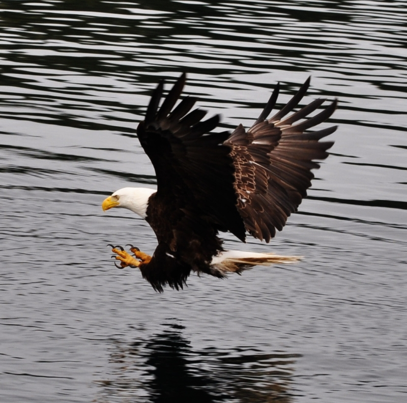 Eagle Pursuing Rock Cod