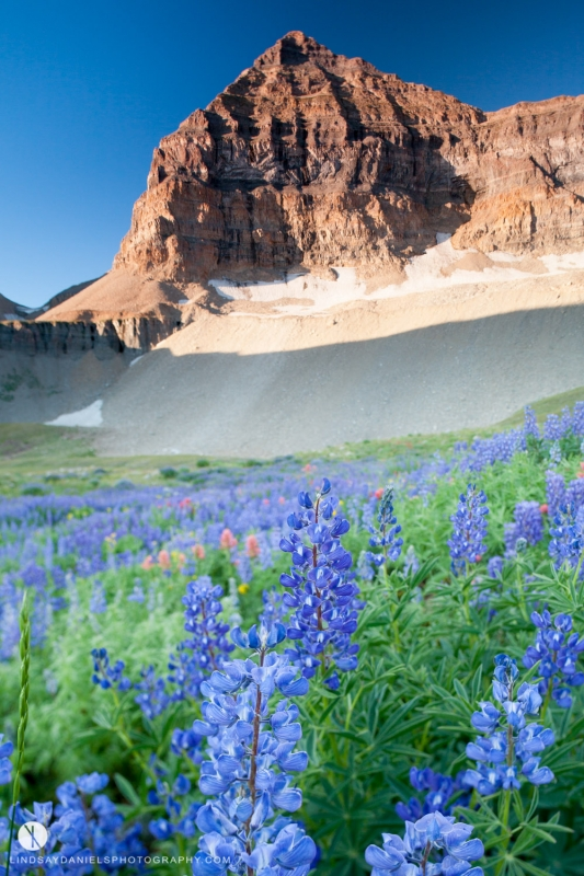 Lupine And Mount Timpanogos