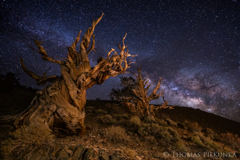 Schulman Grove And Milky Way