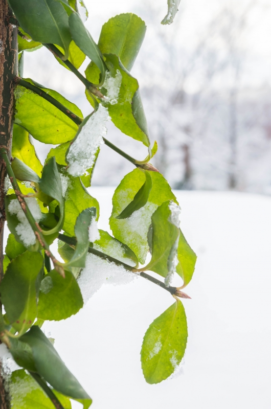 Bright Green Leaves Shimmering In The Snow