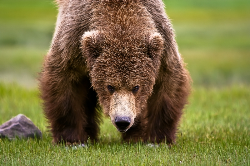 Katmai Grizzly Encounter
