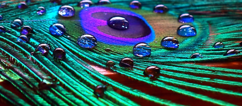 Waterdrops On Peacock Feather…