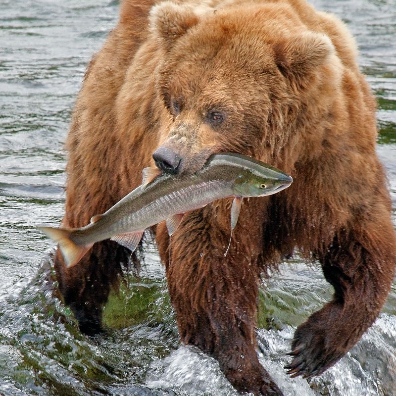 Good Catch Grizzly! Alaska