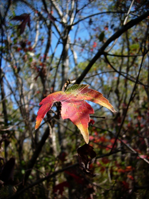 A Fall Leaf Hangs On In Ft. Myers