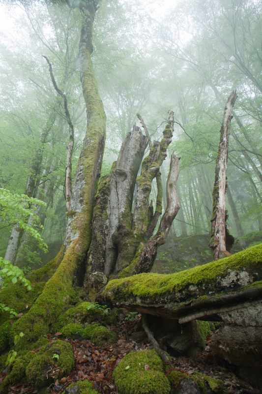Dead Beech In Misty Forest