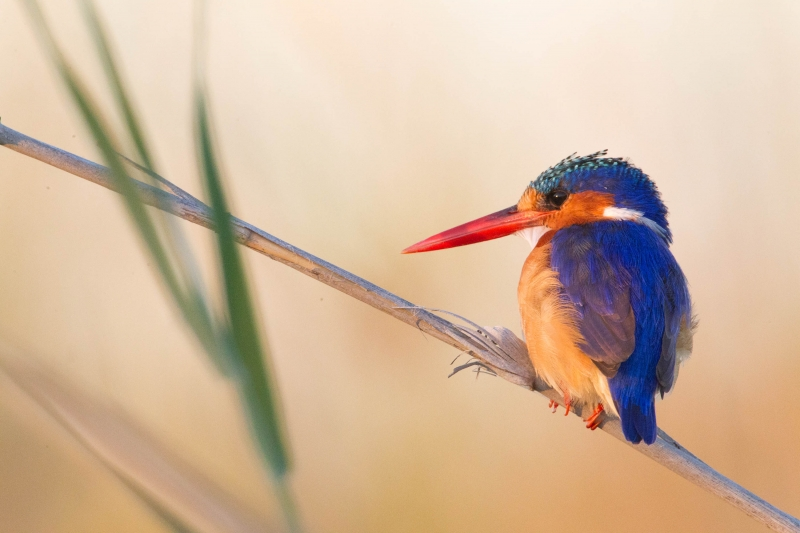 Golden Hour Malachite Kingfisher