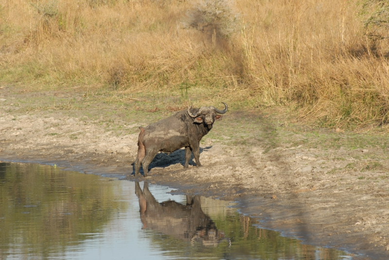 Cape Buffalo (chada River)