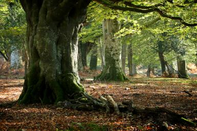 Beech Trees, New Forest