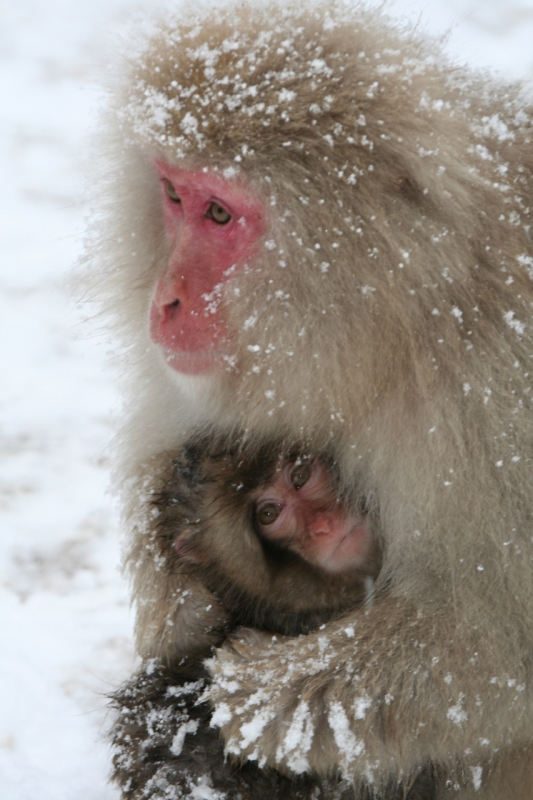 Mother And Child, Japanese Snow Monkeys