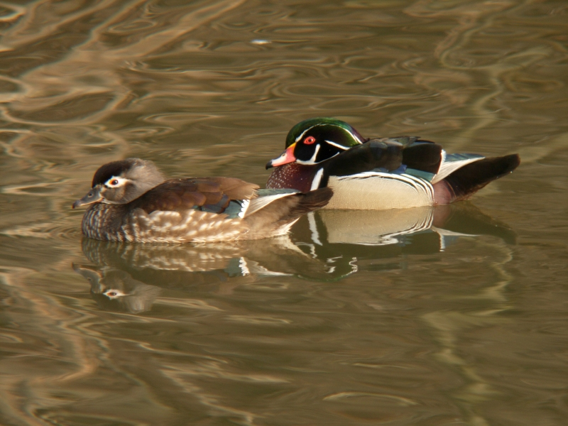 Wood Duck Pair In A Mating Ritual