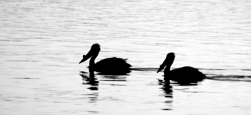 Pelicans In Silhouette