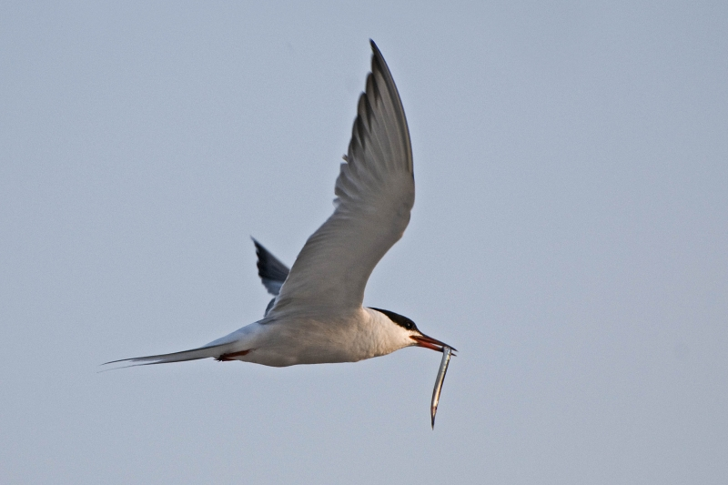 Tern With Eel