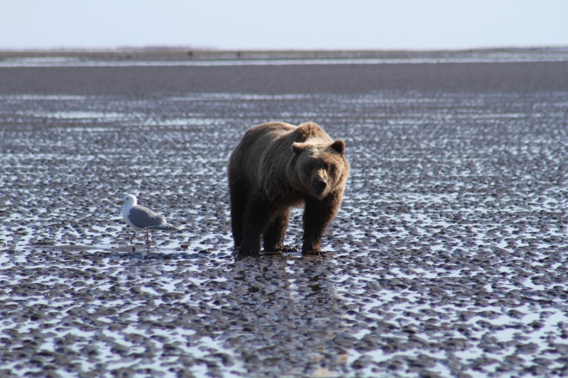 Grizzly Bear Clamming