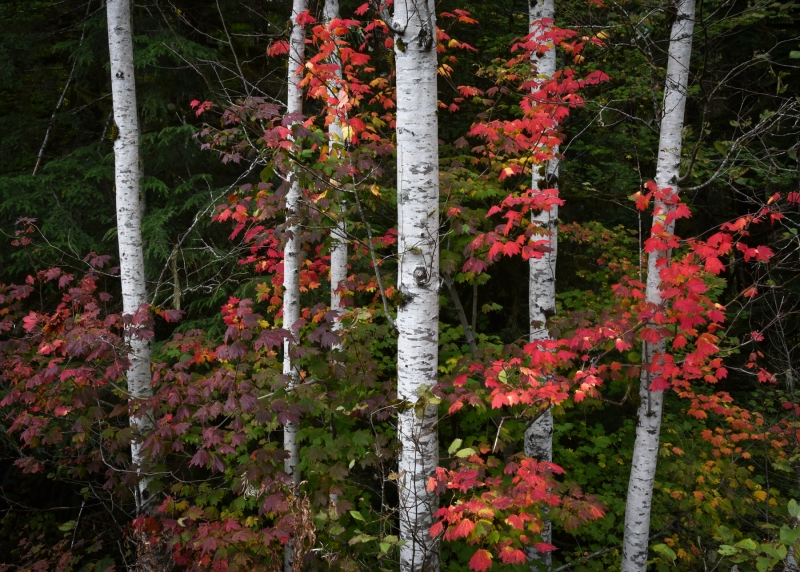 Mountain Loop Vine Maple