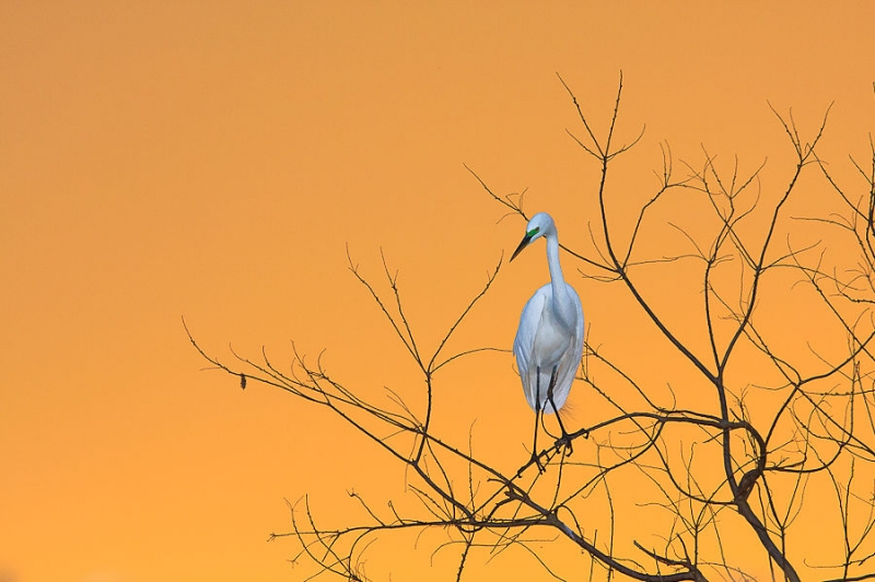 Great Egret On A Branch